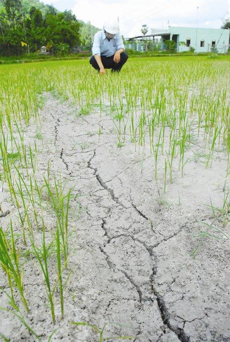 Lao đao ngành gạo