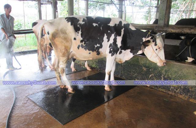 Cao su lót sàn cho gia súc